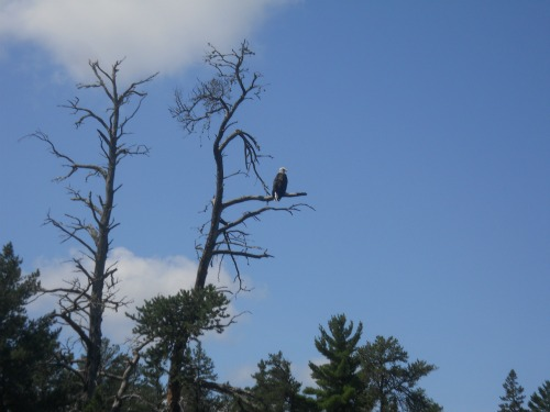 Quetico Provincial Park - Bald eagle
