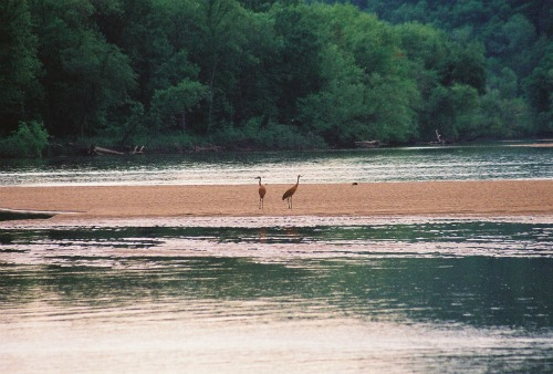 Sandhill cranes on the Wisconsin River