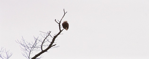 Bald eagle along the Wisconsin River