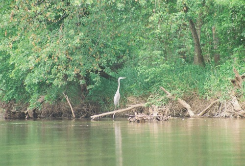 Great blue heron Wisconsin River