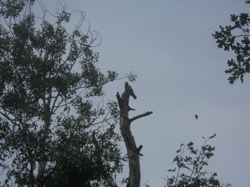 Tuscobia Trail hawk