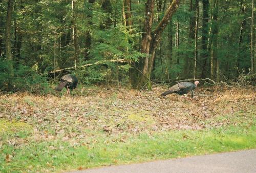 Wild turkeys Great Smoky Mountains