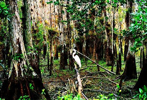Great egret Florida Everglades