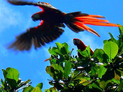 Scarlet Macaws Corcovado