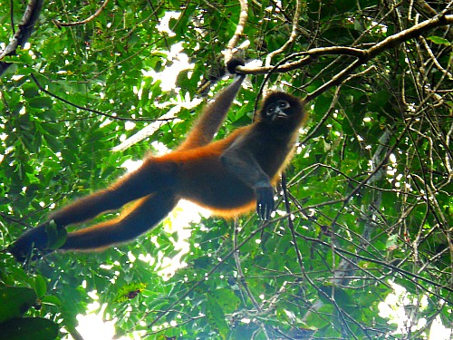 Spider monkey Costa Rica