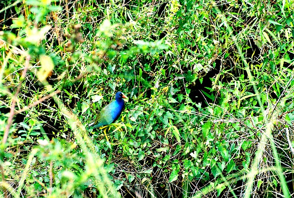 Purple gallinule Florida Everglades