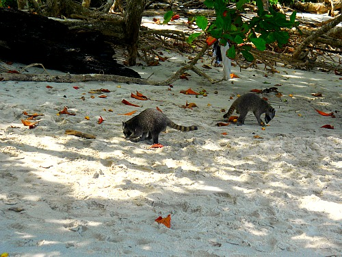 Raccoons at Manuel Antonio Beach in Costa Rica