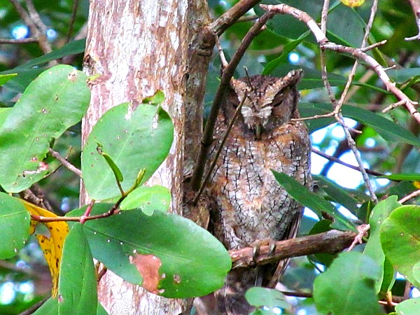 Caroni Swamp owl in Trinidad