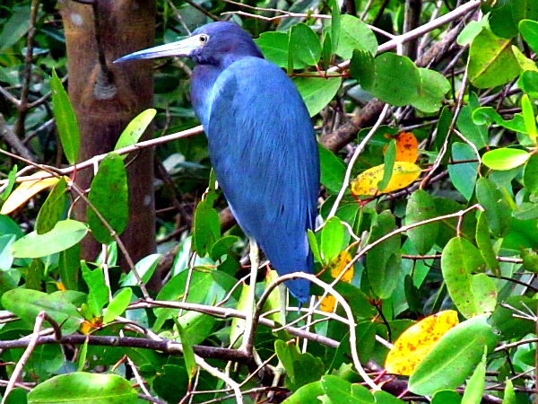 Little blue heron in the Caroni Swamp
