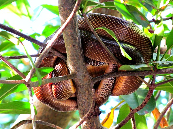 Cook's tree boa in Caroni Swamp