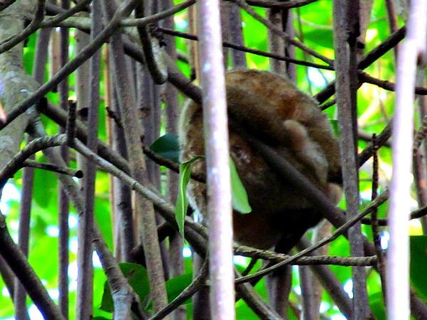 Silky anteater in Caroni Swamp