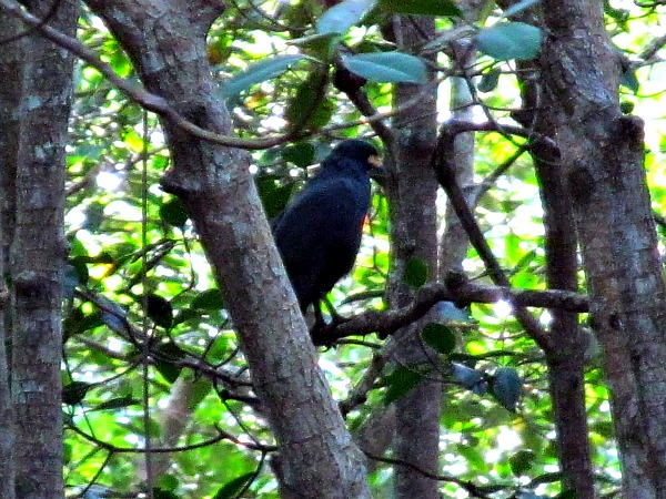 Black hawk Caroni Swamp