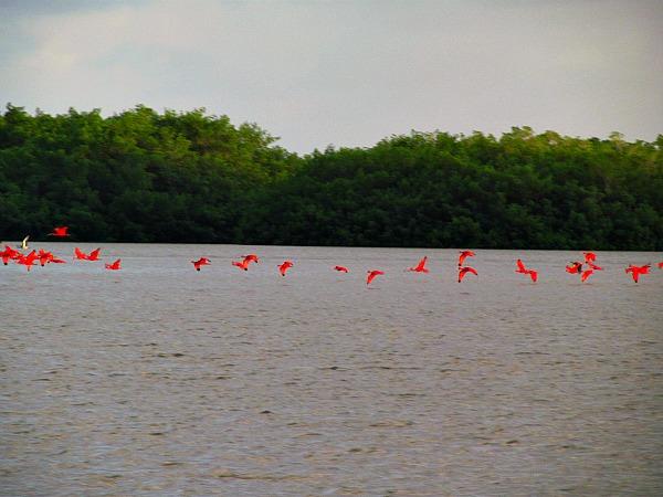 Scarlet ibis fly in Caroni Swamp
