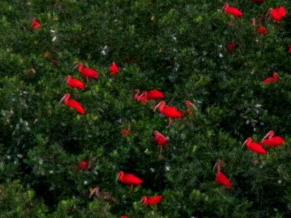 Scarlet ibis Caroni Swamp Trinidad & Tobago