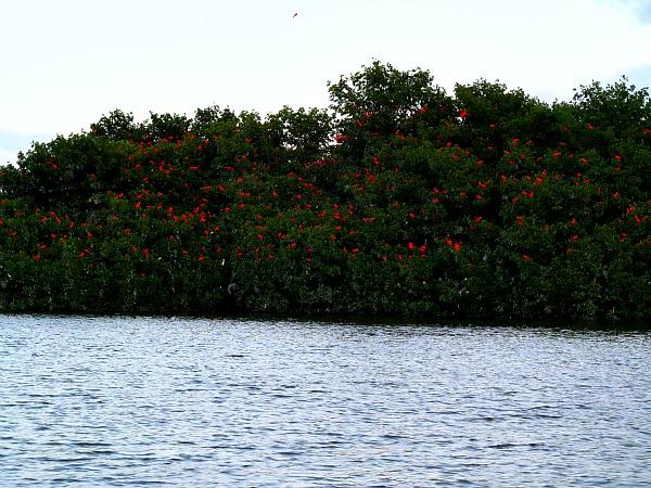Scarlet ibis Caroni Swamp