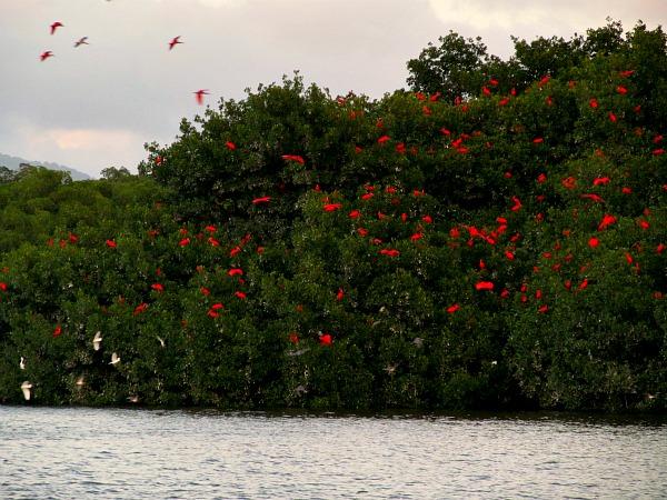 Caroni Swamp scarlet ibis