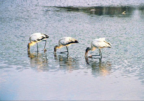 Wood storks Everglades National Park Florida