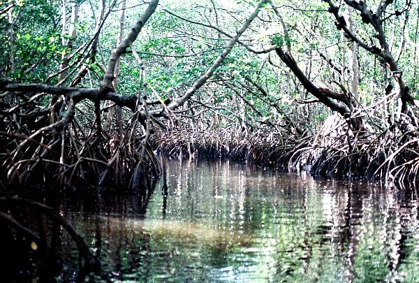 Florida Everglades mangrove swamp