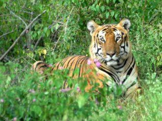 Tiger at Bandipur