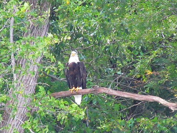 Wisconsin River bald eagle