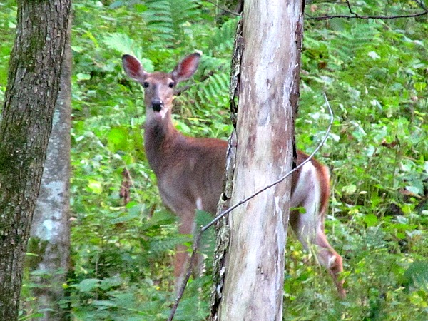 Wisconsin deer