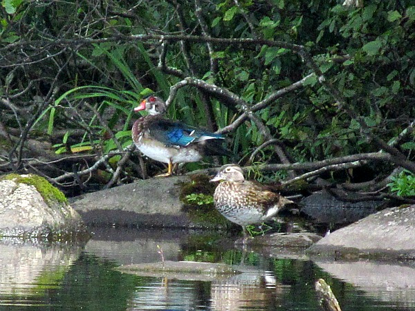 Wood ducks Brule River State Forest Wisconsin
