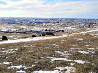 Buffalo Badlands South Dakota