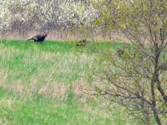 Wild turkeys Wisconsin