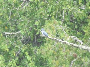 Belted kingfisher Wisconsin
