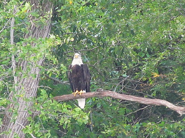 Bald eagle Wisconsin River