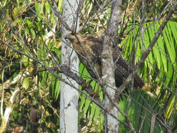 Juvenile black hawk Guyana