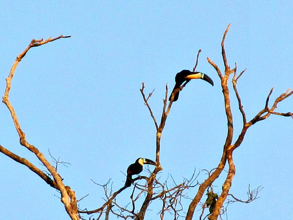 channel-billed toucans bird paradise