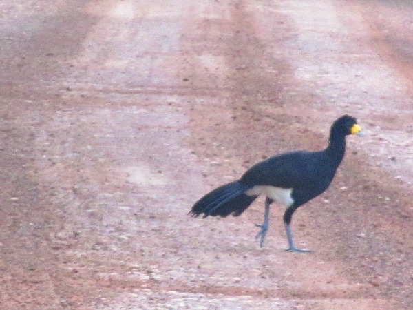 Black currosow Guyana