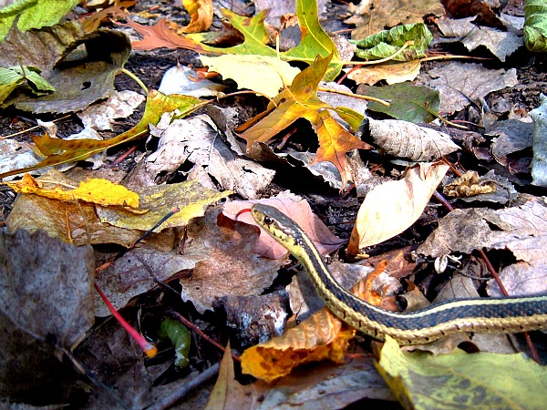 garter snake Illinois