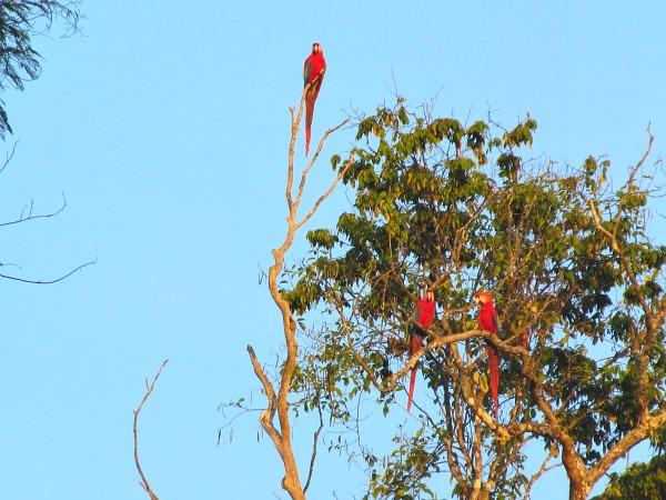 Green-winged macaws Guyana
