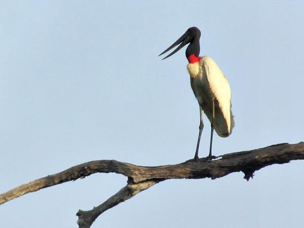 Jabiru stork Guyana