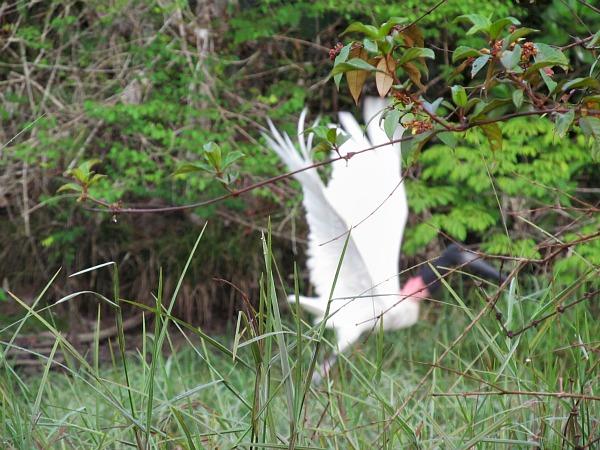 Jabiru Iwokrama Rainforest Guyana