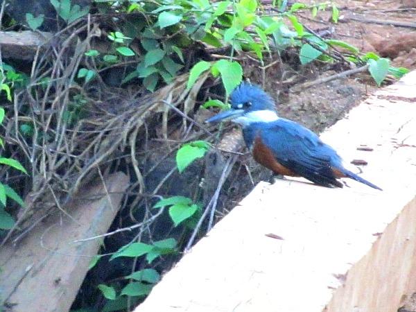 Ringed kingfisher Iwokrama Rainforest