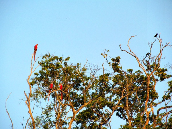 Iwokrama bird paradise