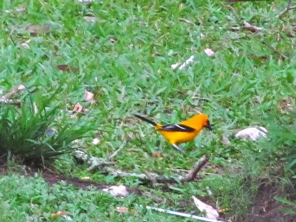 Yellow oriole Guyana