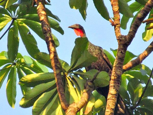 Guyana guan