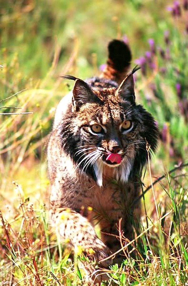 Lynx Doñana