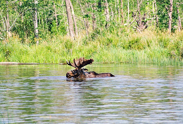 Quetico Provinicial Park bull moose
