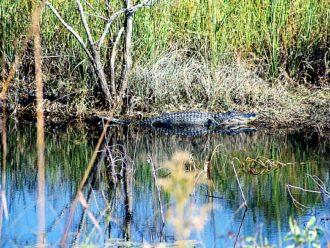 Shoreline American alligator