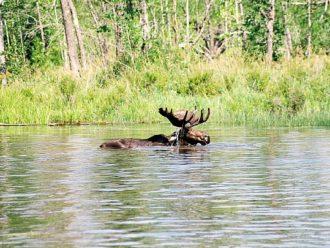 bull moose Quetico