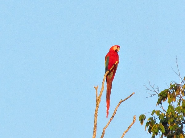 green-winged macaw Guyana