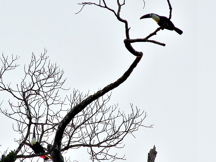 two white-throated toucans singing Guyana
