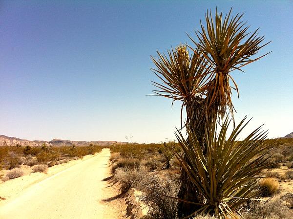 Joshua Tree yucca plant