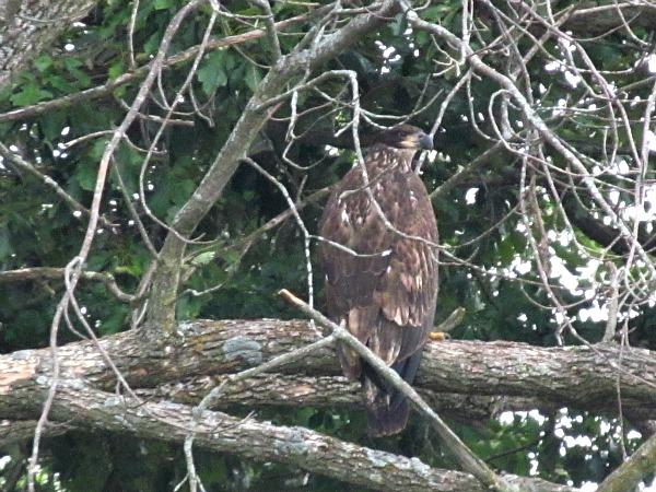 Wisconsin River immature bald eagle