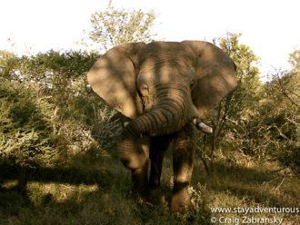 Elephant big five social media safari
